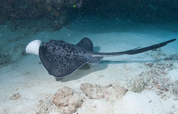 Blackblotched stingray